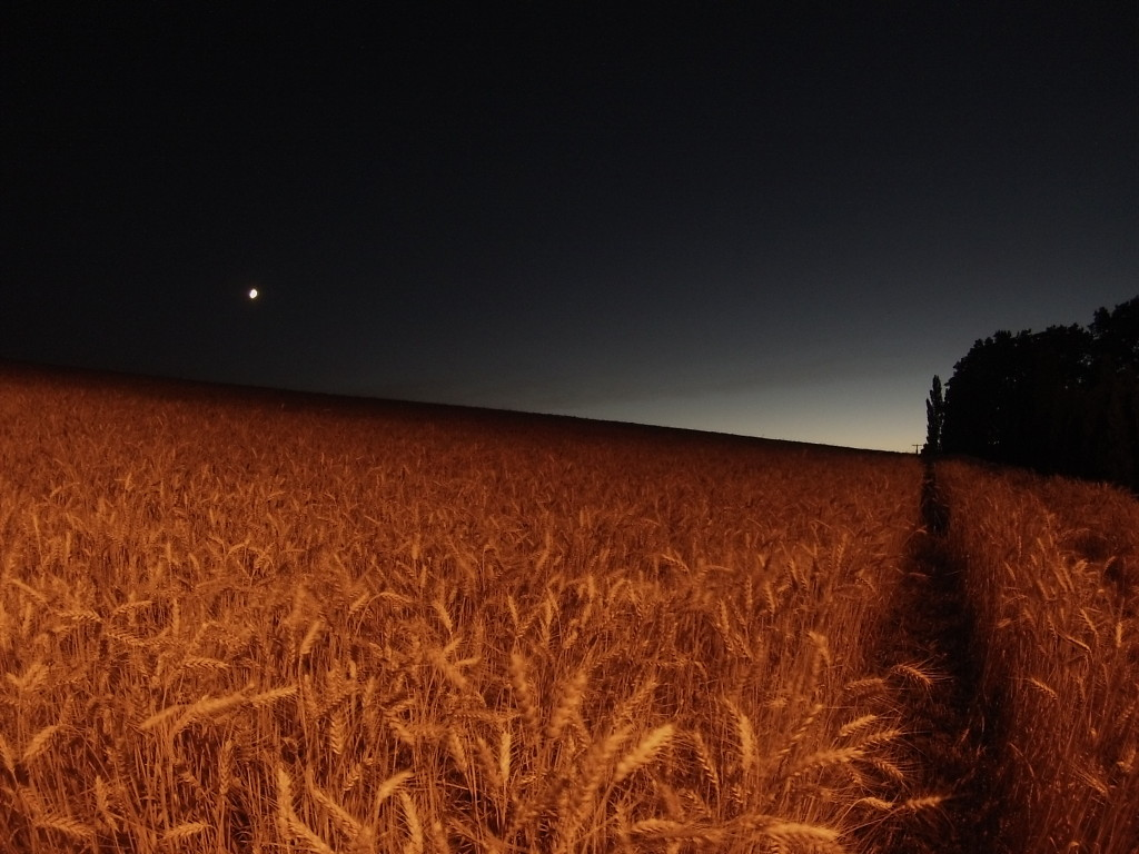 Sunset on a Wheat Field with the Planet Venus
